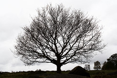 Bare winter tree, Shipley Glen