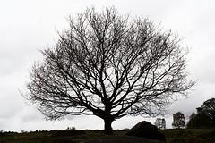 Bare winter tree, Shipley Glen