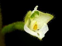 Cranichideae of Ecuador