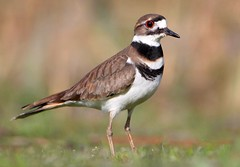 [フリー画像素材] 動物 2, 鳥類, フタオビチドリ ID:201204220400