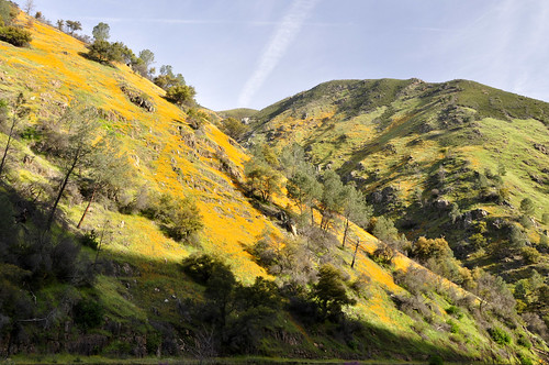 04-04-12 California Poppies by roswellsgirl