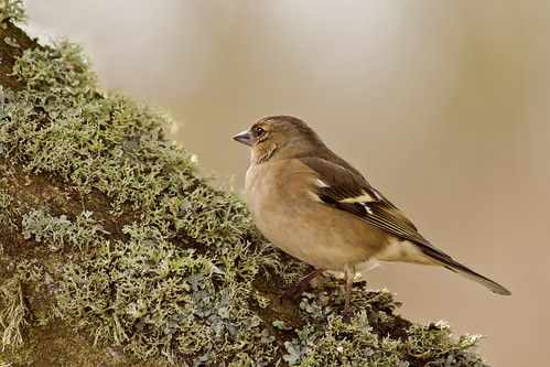 Female Chaffinch 14th-April-12