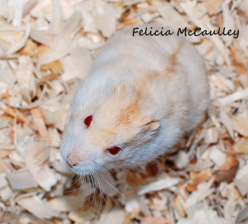 white dwarf hamster with red eyes - photo #33