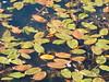 tappeto di piante acquatiche