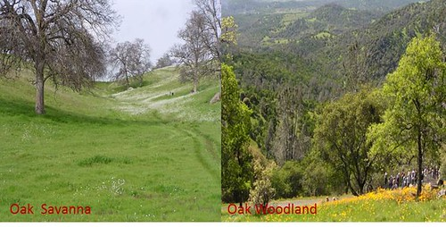 Oak Woodland vs. Oak Savanna