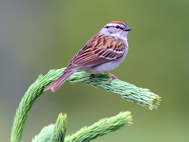 Chipping Sparrow 20120509