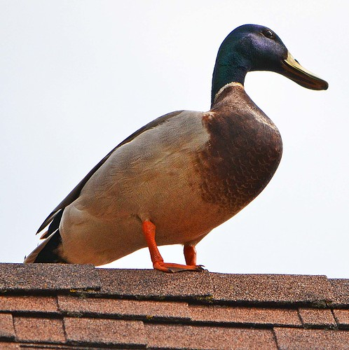 Millard the Mallard on the neighbor's roof