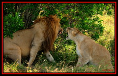 TENSE MOMENT BETWEEN THE KING OF JUNGLE AND HIS 'QUEEN' (Panthera leo)....MASAI MARA....OCT 2012