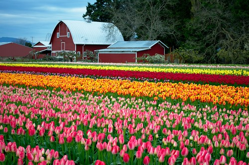 Tulip Town Fields