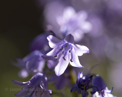 Backlit Bluebells