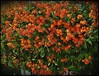 Heights Orange Star Flowering Bush ARTsy by oldusephemera