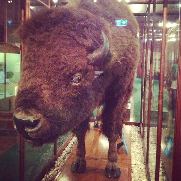 Suddenly... Bison!