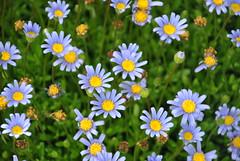 annual plant, flower, plant, marguerite daisy, tanacetum parthenium, wildflower, flora, meadow, daisy,