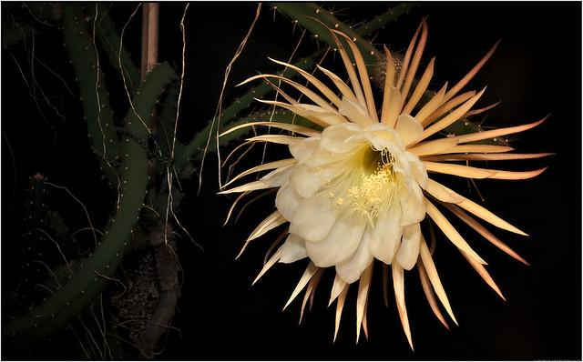 »Königin der Nacht« Selenicereus grandiflorus