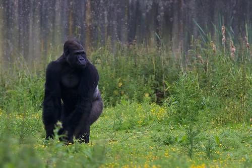 Gorilla by McShug