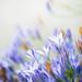 Wild Hyacinth by Anna Omiotek-Tott