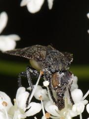 Platystoma seminationis (Diptera: Platystomatidae)