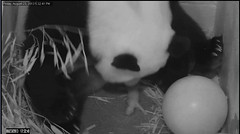 2013.08.23-Panda-Cub-Birth