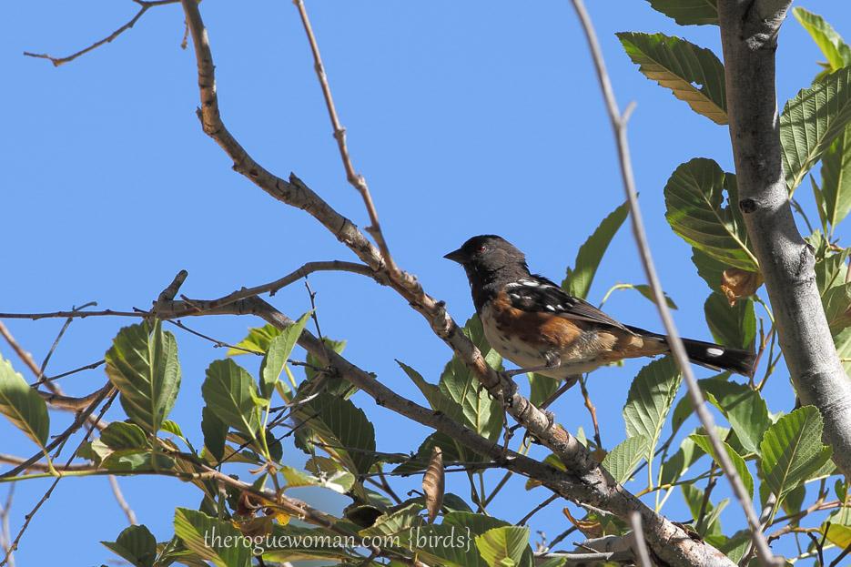 081813_bird_spottedTowhee