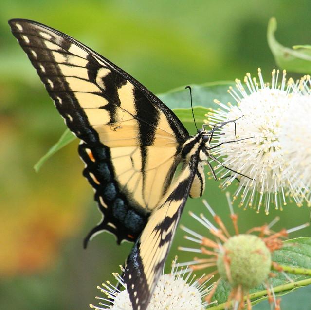 Tiger Swallowtail (5)