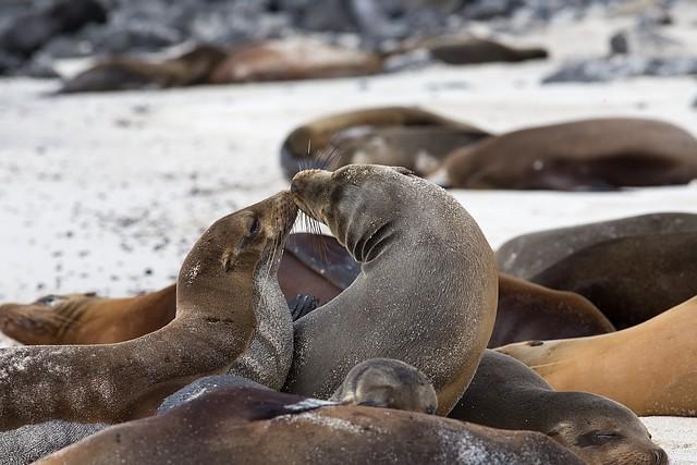 Lobos marinos, Islas Galapagos, Santa Fe