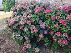 hydrangea serrata(0.0), hydrangea(1.0), annual plant(1.0), shrub(1.0), flower(1.0), garden(1.0),