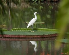 Little Egret on Victoria Lily Pad (Egretta garzetta) (DTHN0082) นกยางเปีย บนบัววิกตอเรีย
