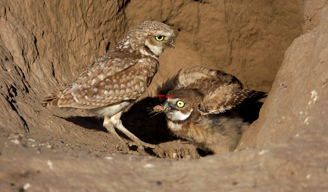 "Burrowing Owl Juvenile, get a "" cricket "" from mom. 穴鴞 6Z2K5716-1"