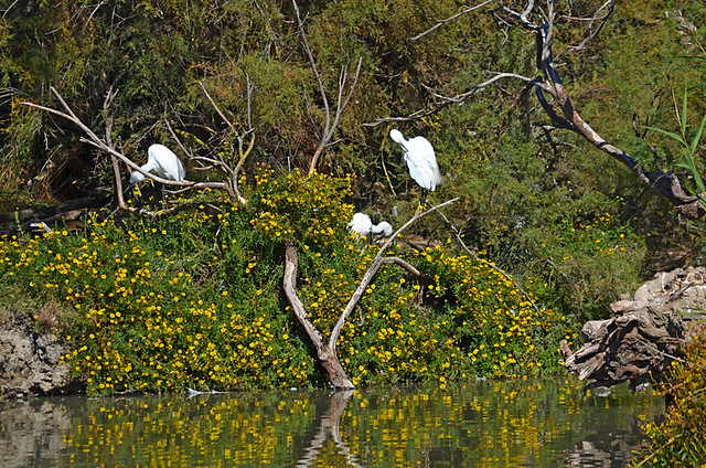 Egrets, Ornithological Park, Saintes Maries de la Mer, Camargue, France