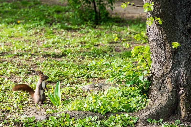 Veveriță