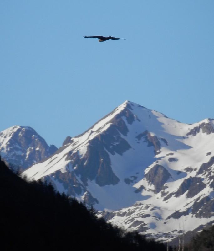 Un águila en Biescas
