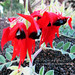 Sturt's Desert Pea by Cathy Cates (aka CrafteeCC)