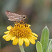Salt Marsh Skipper - Photo (c) Mary Keim, some rights reserved (CC BY-NC-SA)