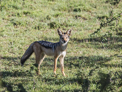 animal, red wolf, mammal, jackal, grey fox, fauna, coyote, wildlife,