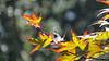 Autumn leaves - Japanese Maple