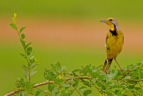 Macronyx croceus, yellow-throated longclaw