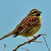 CIRL BUNTING  A wonderful Spring visitor