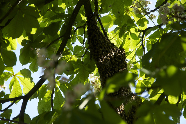 swarm in canopy