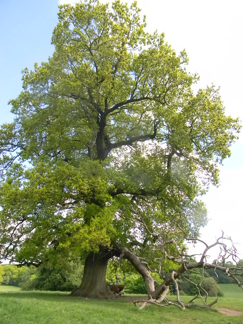Oak, Bulstrode Park