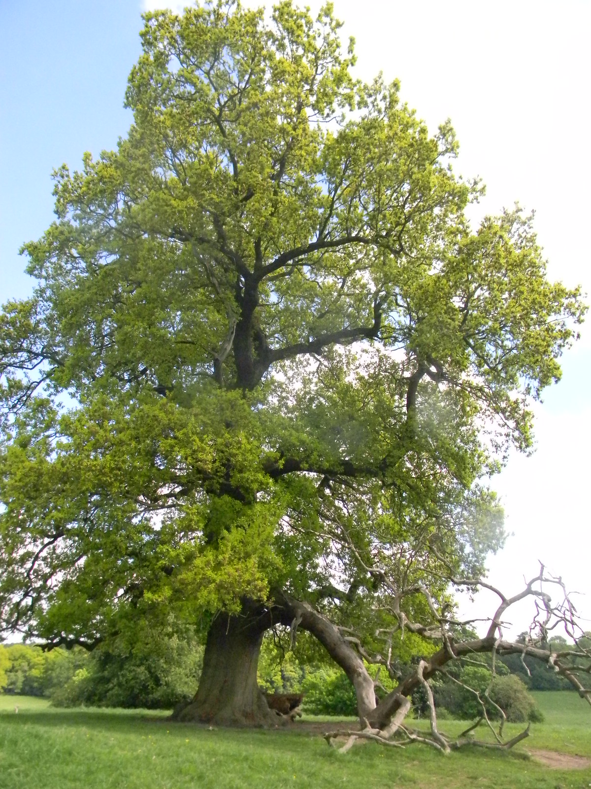 Oak, Bulstrode Park Gerrards Cross to Cookham