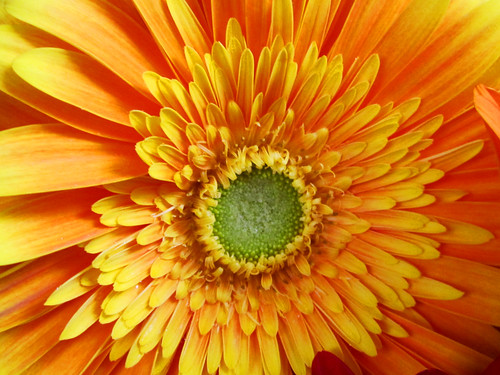 Orange Daisy Flower