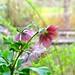 hellebores at van dusen gardens_2