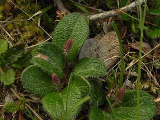 Salix reticulata=Saule réticulé (1)