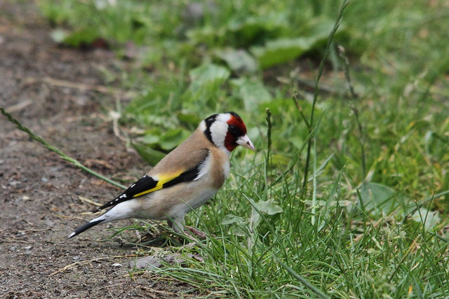 Goldfinch, Sconce Lane