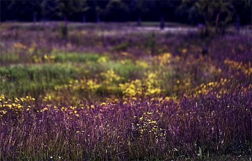 flowers orange field yellow canon colours purple meadow violet lavender 100mm buttercups northolt northalafields 5dmarkiii