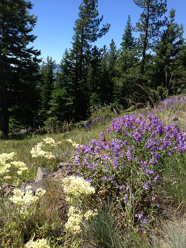 penstemon and other wildflowers