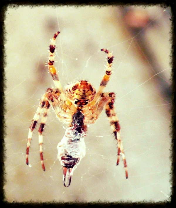Garden spider with lunch in the web (an earwig)