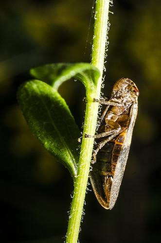 Cicadellidae sp. (?) resting