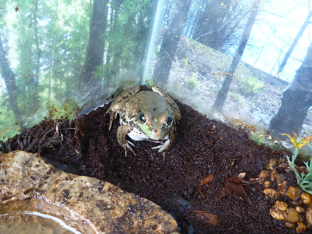 Image of a frog at the County Fair.