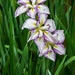 White & pink iris by koalie